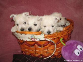 West Highland White Terrier szczeniaki ZKwP FCI
